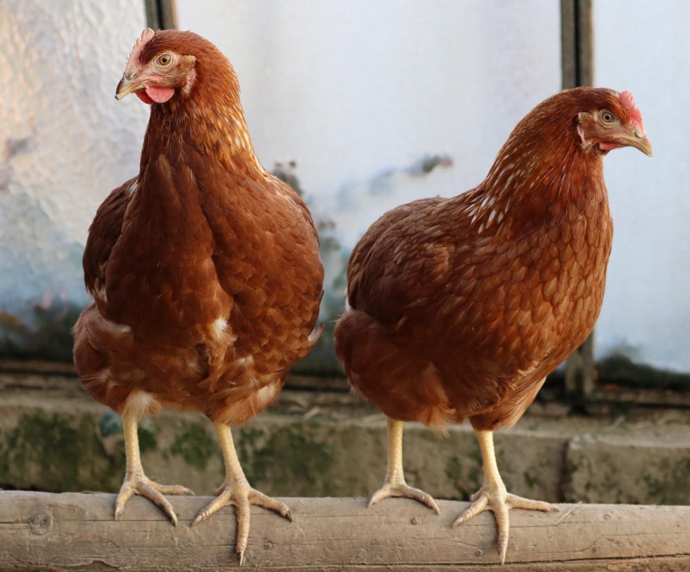 Tetra SL chicken