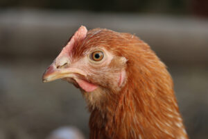 Tetra SL csirke